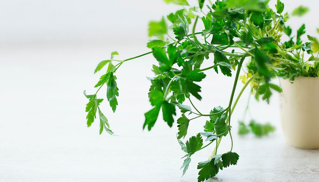 Parsley live plant in the kitchen